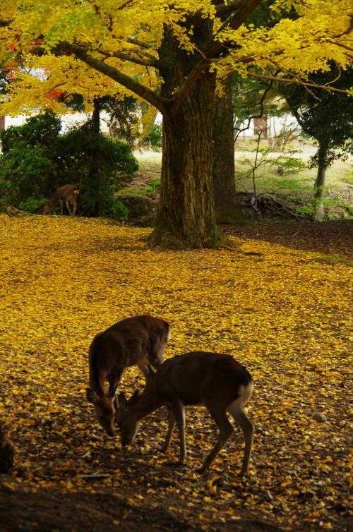 東大寺 大仏池の鹿2