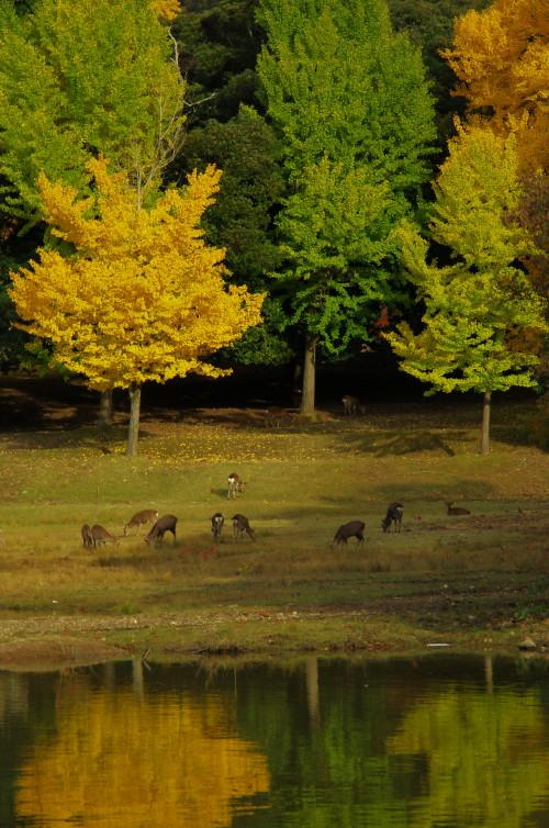 東大寺 大仏池の鹿1