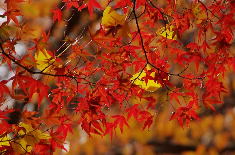 もみじと銀杏の葉