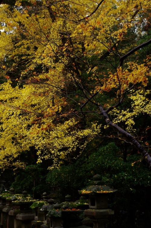 春日大社 銀杏と灯篭1