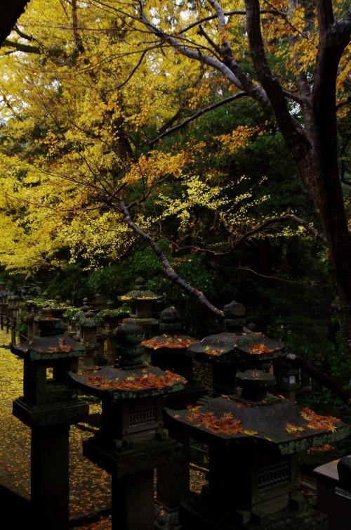 春日大社 銀杏と灯篭