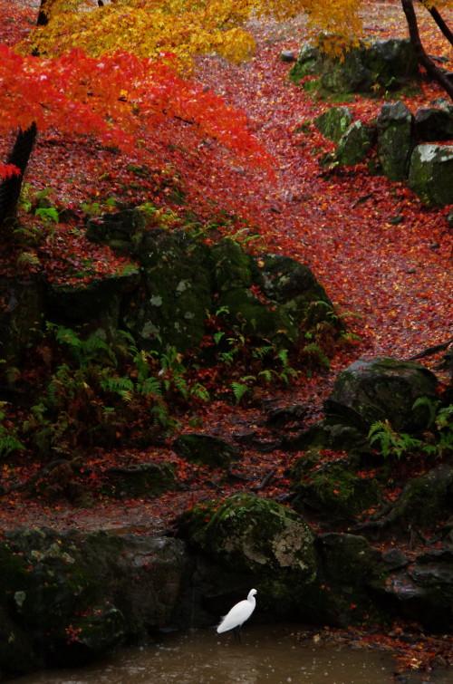 吉城川 鷺と紅葉
