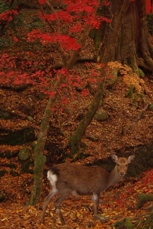 鹿にもみじ_1