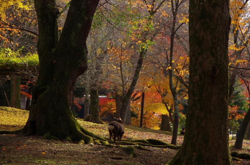 奈良公園 角のある鹿