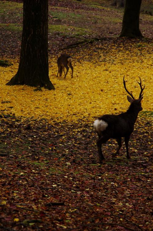 奈良公園 牡鹿