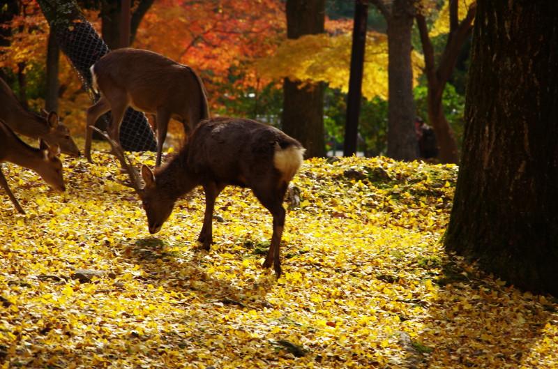 奈良公園 牡鹿3