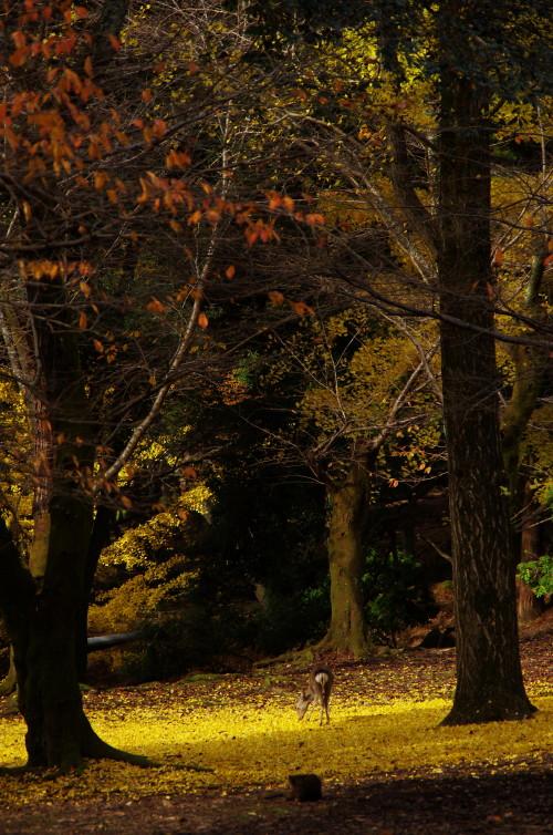 奈良公園 鹿と銀杏2