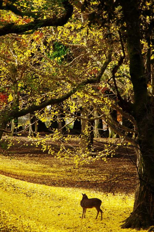 奈良公園 鹿と銀杏1