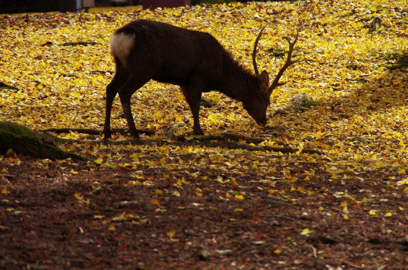 奈良公園 牡鹿1
