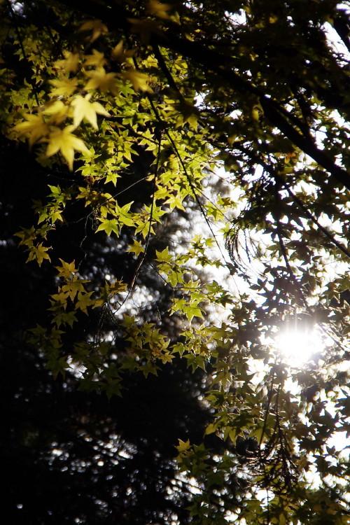 大神神社 かえで光