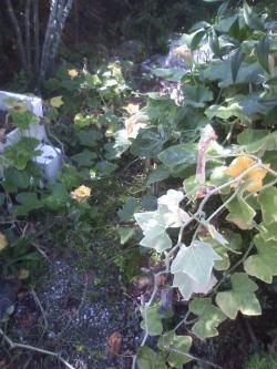 10-6冬瓜花