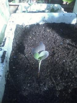 11-26茎ブロッコリー