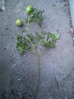 11-29トマト