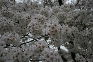 201205sakura1.jpg