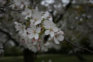 201205sakura2.jpg