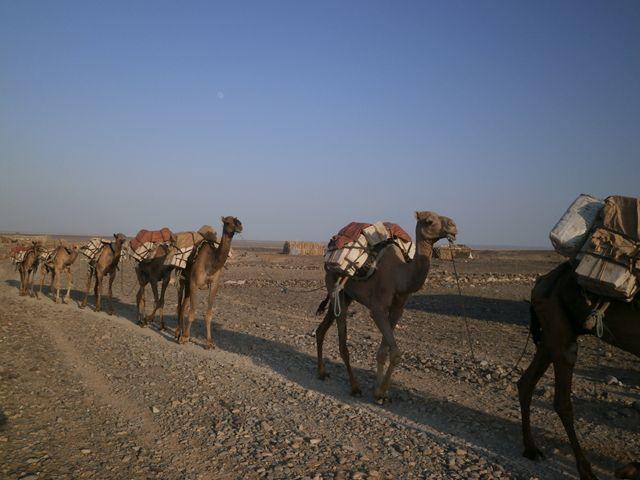 塩湖から塩を運ぶラクダの大キャラバン