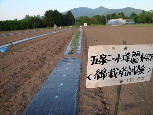 2012綿の畑の看板 でも向こうに見えるのはトマト