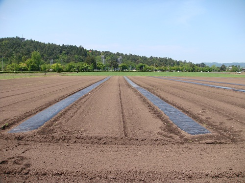 2012 今年の綿の畑-マルチ完了-