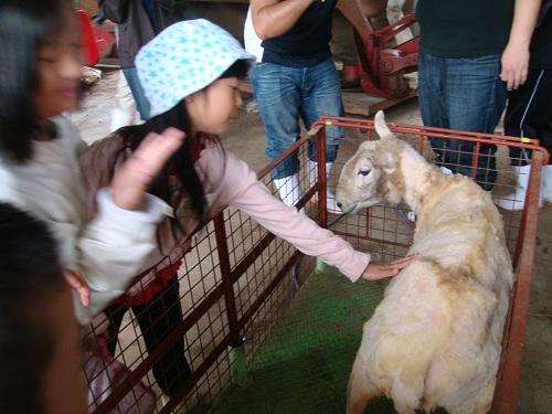毛刈り後の羊に触れる(圧縮)
