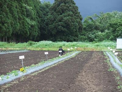 2012-6-21 綿の畑