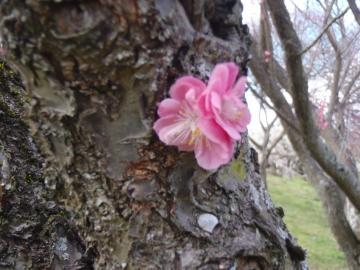 3月14日幹から花