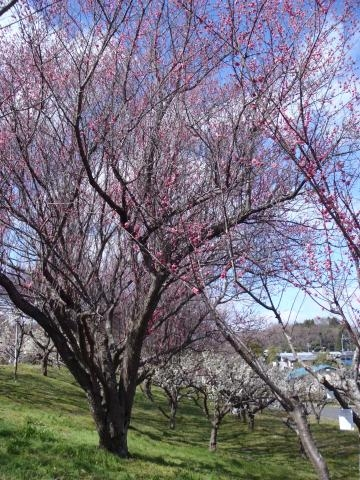 3月14日高い梅