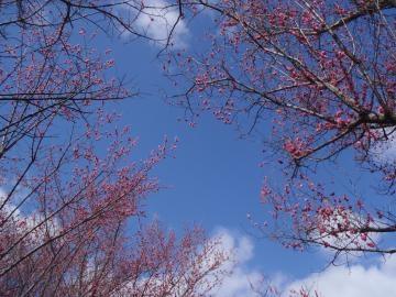 3月14日高い梅と空