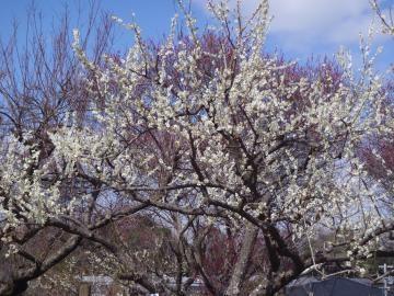 3月14日白梅全景