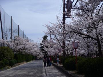 45sakuranamikikooriyama.jpg