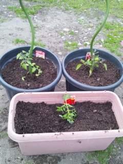20120508 ミニトマト植えました