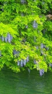 20120607 藤の花アップ