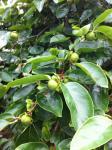 福井柿の木
