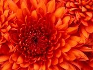 Chrysanthemumブログ用