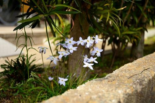 花韮 (2)