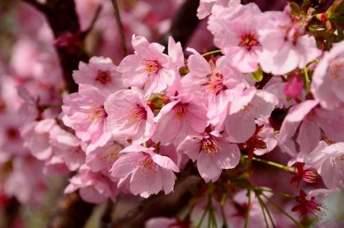 陽光桜 (2)