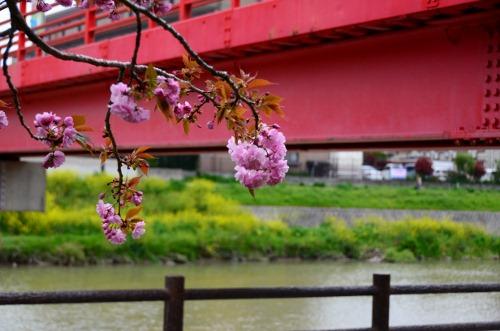 八重の桜ー2