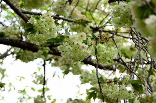 緑の桜ー1