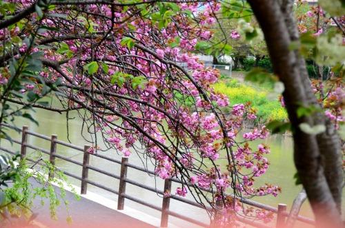 八重の桜-3