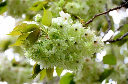 ウコン桜ー2
