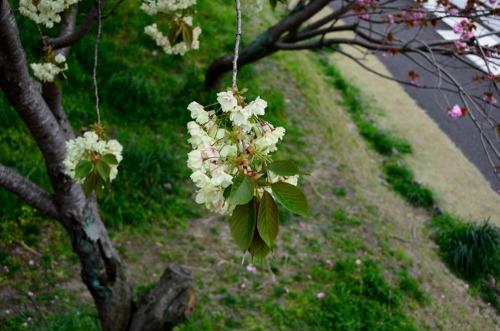 ウコン桜ー1