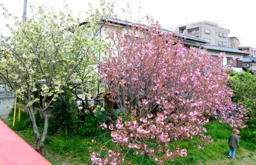 緑と八重の桜