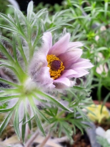 紫八重咲きオキナグサー1