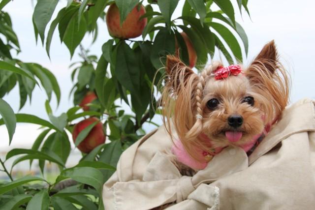 大きな桃を丸かじり出きるかな
