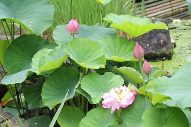 蓮の花ピンク