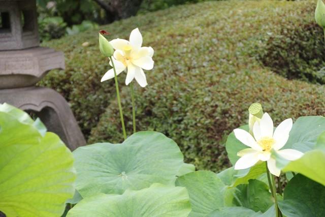 蓮の花黄色