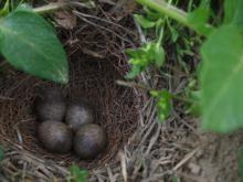 ヒバリの巣2011