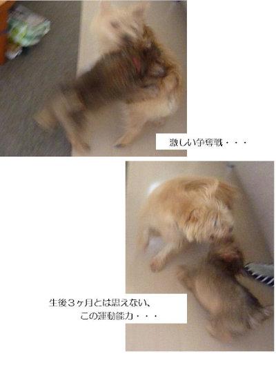 5 ほねっこ取り合い②[1]