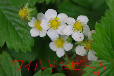 s-ワイルドだぜぃ