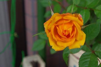 s-ミニ薔薇2