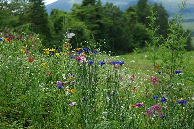 s-軽井沢の花1